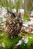 foto of snow owl  - Closeup Eurasian eagle - JPG