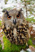 image of snow owl  - Closeup Eurasian eagle - JPG