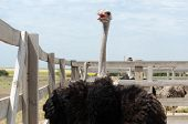 pic of poultry  - Big domestic ostrich in the poultry yard - JPG