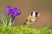 Постер, плакат: Goldfinch and crocus