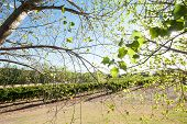 picture of cottonwood  - Sparse light green cottonwood foliage backlit by sun with vineyard byond - JPG