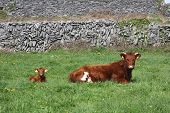 stock photo of calf cow  - Red and Brown Cow with a Calf Lying in a Field - JPG