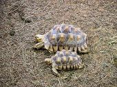 stock photo of spurs  - Pair of African Spurred Tortoise - JPG
