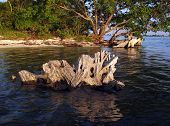 pic of east-indian  - Mangrove stump protrudes from the calm waters of the Indian River on the east coast of Florida