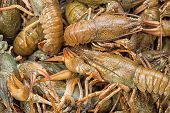 picture of crawfish  - Background of the heap of live crawfish - JPG