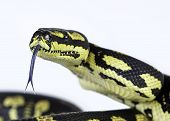 picture of jungle snake  - A close up of a jungle carpet python  - JPG