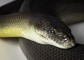 image of python  - a close up of a water python - JPG