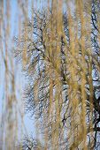 stock photo of weeping willow tree  - bald tree behind the shoots of a blooming weeping willow - JPG