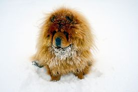 stock photo of seeing eye dog  - Chow Chow Dog Dina winter and white snow - JPG
