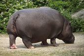 image of hippopotamus  - Hippopotamus  - JPG