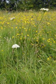 foto of rare flowers  - Corky-fruited Water-dropwort - Oenanthe pimpinelloides Rare wet grassland flower - JPG