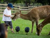 pic of farm animals  - Little boy feeding deers in farm - JPG