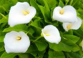 stock photo of calla lily  - five hazy white lillies with green leafs - JPG