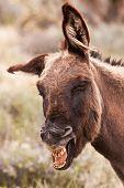 picture of burro  - Silly Smiling Wild Burro Donkey in Nevada Desert - JPG