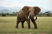 Постер, плакат: Африканский слон Амбосели Кении