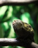 close-up portrait of a very tiny and very cute pygmy marmoset poster