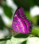 Постер, плакат: розовая бабочка на лист