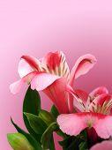 Постер, плакат: цветы с пространством на розовом фоне для украшения