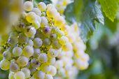picture of grape-vine  - Lush ripe grapes on the vine 81 - JPG