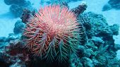 Crown Of Thorns Starfish - Acanthaster Planci - The World Largest Starfish , Predator Of Hard Corals poster