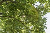 Sunbeams Shining Through The Leaves Of A Lime Tree poster