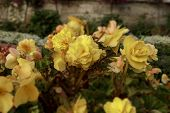Flowerbed Of Bright Yellow Flowers. Colorful Garden Bed. Tilt-shift Effect Photo. Shallow Depth Of F poster