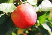 Red Apple On Tree At Orchard Farm Garden On Sunny Summer Day. Fresh Organic Red Apples Growing On Th poster