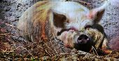 Close Up Of A Pig Taking A Sun Bath In The Mud poster