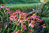 Medicinal Herb Garden With Flowering Echinacea During Summertime. poster