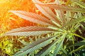 Wild Hemp Plant On Green Field. California Medical Marijuana. Legalization Of Marijuana For Medical  poster