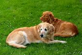 stock photo of golden retriever puppy  - My dog    - JPG