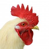 Profile of white domestic cock on white background poster