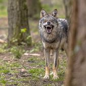 Agressive European Grey Wolf (canis Lupus) Growling From Behand Tree As Warning Of Defense. Vicious  poster