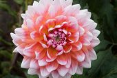 Beautiful Pink Dahlia Dahlia . Dahlia Flower. Close-up Of A Pink Dahlia (asteraceae) View To Bloomin poster