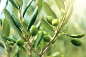 Olive Branch With Leaves And Green Olives. Olive Tree Close Up In Greece, Corfu. Mediterranean Plant poster
