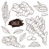 Ginger Set. Hand Drawn Ginger Root, Slices Pieces, Powder, Leaves And Flower. Design For Shop, Book, poster