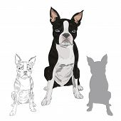 Boston Terrier Dog Breed Isolated On White Background. Purebred Canine In Sketch And Silhouette For  poster