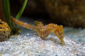 Short Snouted Seahorse - Hippocampus Hippocampus In The Family Syngnathidae. It Is Endemic To The Me poster