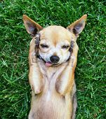 foto of mongrel dog  - a cute chihuahua with his paws on his head covering his ears - JPG