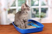 Small gray kitten in blue plastic litter cat on wooden table on window background