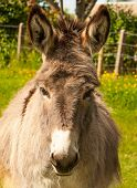 stock photo of headstrong  - Nice donkey in a Field in sunny day - JPG