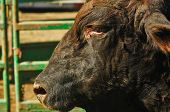image of bull-riding  - A rodeo bull relaxes after bull riding event at a western rodeo - JPG