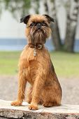 Brussels Griffon Dog Portrait On Wooden Bench