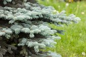 stock photo of blue spruce  - branches of blue spruce in the park - JPG