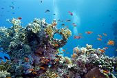pic of undersea  - coral reef with hard corals and exotic fishes anthias at the bottom ofred sea in egypt on blue water background