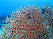stock photo of undersea  - coral reef with beautiful great gorgoniam at the bottom of red sea in egypt on blue water background - JPG
