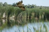 stock photo of marshes  - An Osprey flies over a high desert marsh - JPG