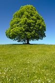 stock photo of linden-tree  - single big old linden tree in meadow at spring - JPG