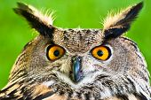 image of owls  - A close up of a Eurasian Eagle - JPG