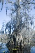 picture of bayou  - spanish moss hangs from old cypress tree in bayou - JPG